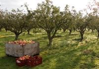 Rosja nakłada embargo na polskie jabłka i kapustę